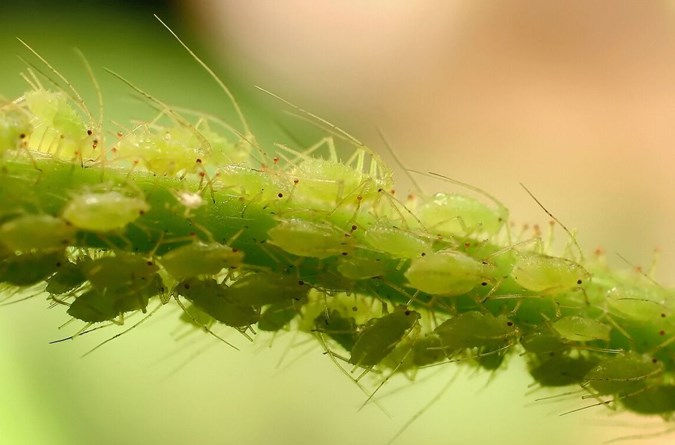Aphids can kill your plants quickly. Image: Getty
