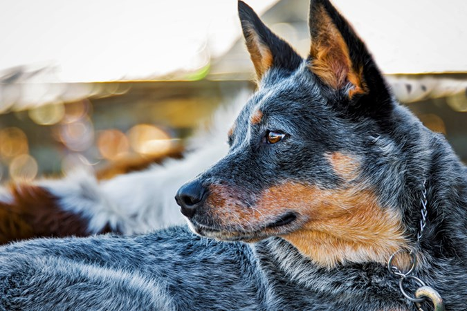 Blue Heelers require bursts of exercise and lots of stimulation. (Image: Supplied)